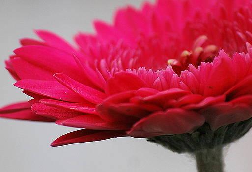 Gerber in Pink by Amee Stadler