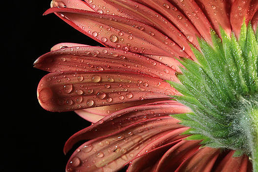 Gerbera Beauty by Nancie Rowan