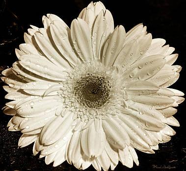 Gerbera Daisy by Mark Ashkenazi