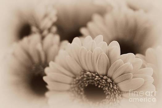 Gerbera Flowers by P S
