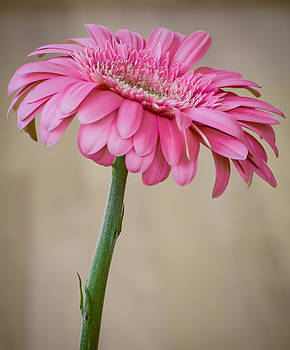 Gerbera by Kelly McNamara