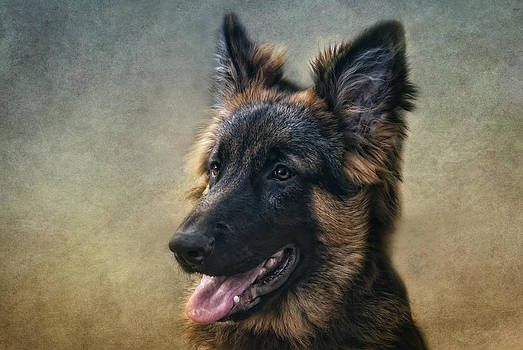 German Shepherd by Claudia Moeckel