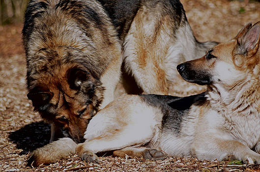 German Shepherds by Emelyn McKitrick