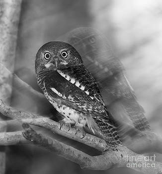 Ghost Owlet by Jean-Luc Baron