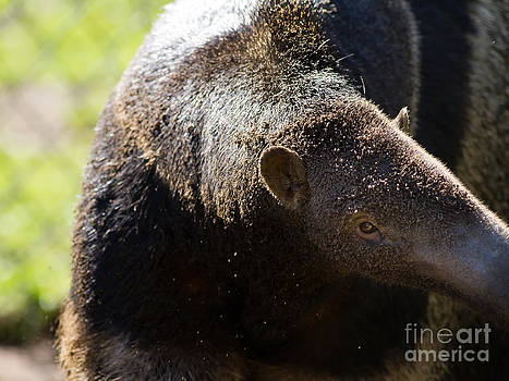 Wingsdomain Art and Photography - Giant Anteater 7D9054