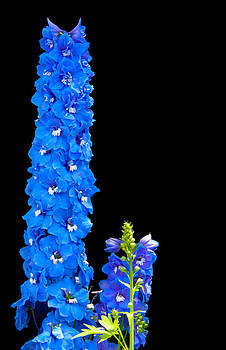 Randall Branham - GIANT BLUE DELPHINIUM