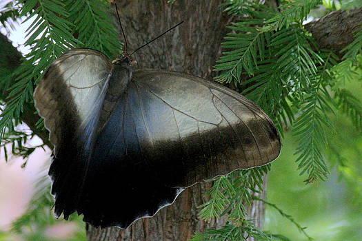 Rosanne Jordan - Giant Owl Moth Open Wings