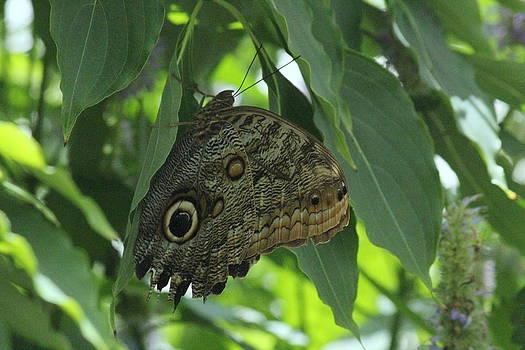 Rosanne Jordan - Giant Owl Moth