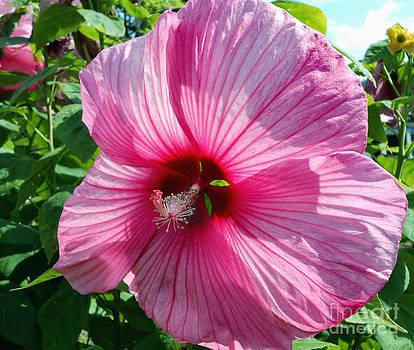 Giant Pink Hibiscus by Eva Thomas