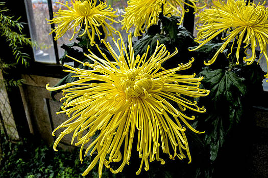 Giant Spider Mum by Wanda J King