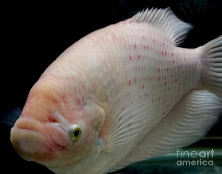 Gail Matthews - Giant Striped Gourami Fish