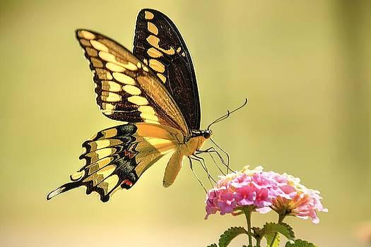 Giant Swallowtail by Lorri Crossno