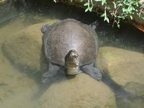 Giant Tortoir by Sunanda Yapa