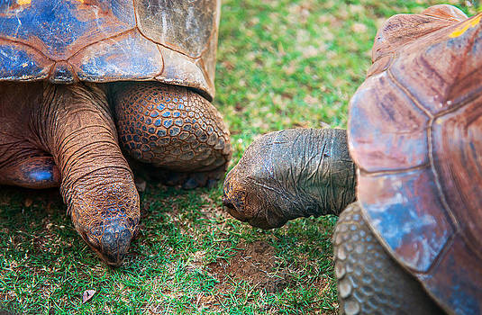 Jenny Rainbow - Giant Turtles in the Pamplemousse Botanical Garden. Mauritius