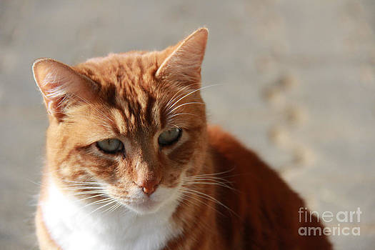 Ginger cat by Angelina W