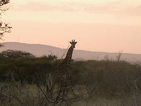 Giraffe at Dusk by Kyla Heath