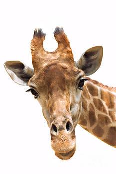 Mythja  Photography - Giraffe closeup
