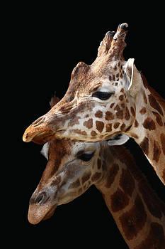 Giraffe by Derek Sherwin