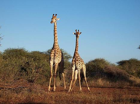 Giraffe Duo by Robert Teeling