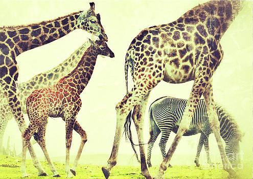 Nick  Biemans - Giraffes and a zebra in the mist