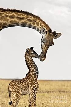 Giraffe's First Kiss by Carol Walker