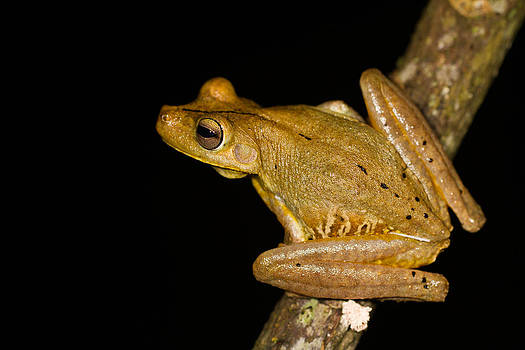 Gladiator Tree Frog by JP Lawrence