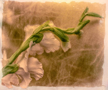 Gladiola by Jill Balsam