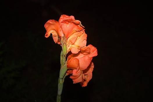 Gladiolus at night by Edward Hamilton