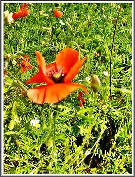 Glamorous Poppies by Daniela Nedelea