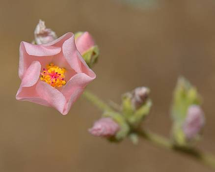 Globe Mallow by Old Pueblo Photography