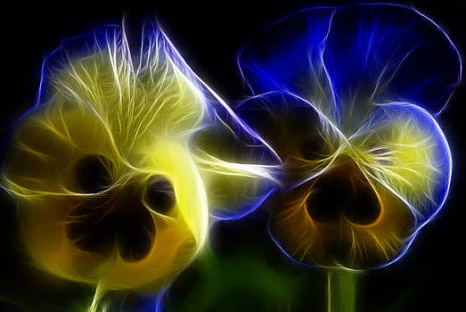 Cindy Boyd - Glowing Blue and Yellow Pansies