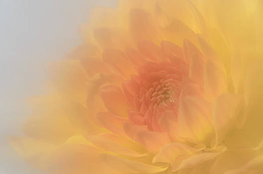 Glowing Dahlia by Kelly McNamara