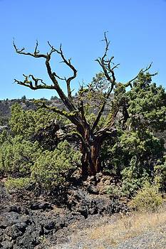 Gnarled Tree on the Lava Beds - Portrait by Rich Rauenzahn