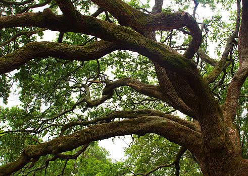 Gnarly Oak by JP Lawrence