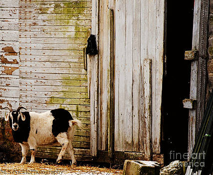 Goat and Barn Door by Melissa Nickle