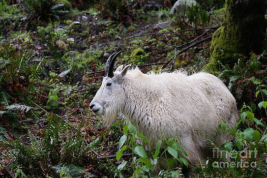 Goat checking me out. by Walter Strausser