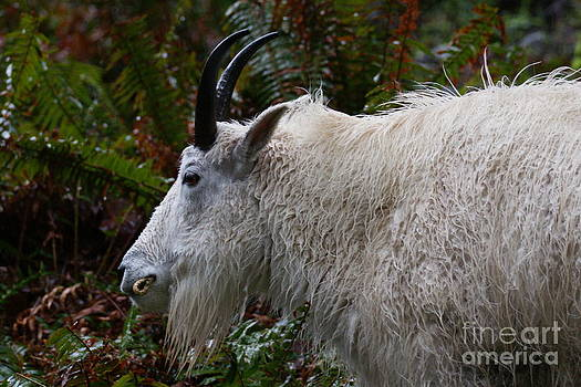 Goat Close Up by Walter Strausser