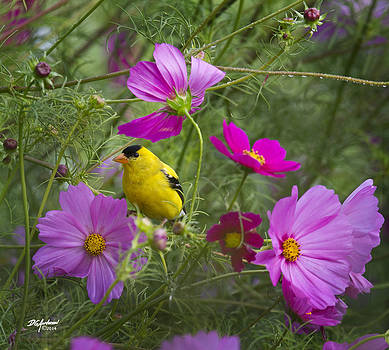 Gold finch on Cosmos by Don Anderson