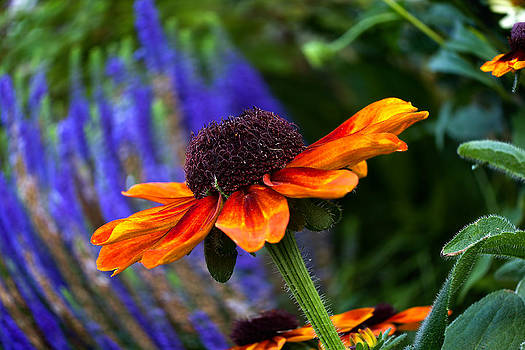 Gold Rudbeckia by Gary Smith by Gary Smith