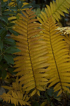 Golden Ferns by Adam Paashaus