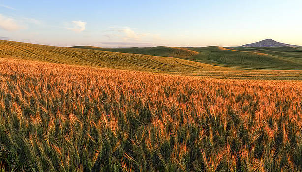 Golden Grains of Wheat by Ray Still