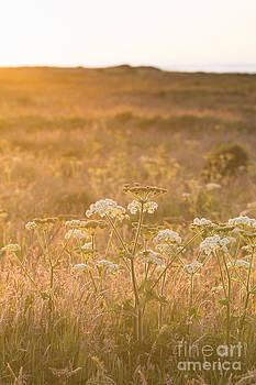 Golden Hogweed by Anne Gilbert