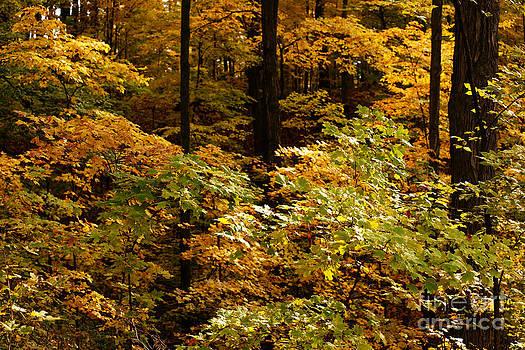 Linda Knorr Shafer - Golden Leaves In Autumn