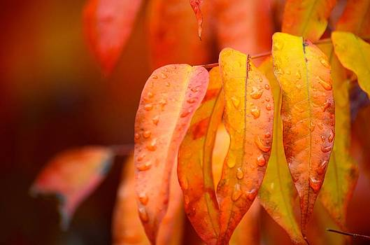 Golden leaves in the rain at Stanford by Alex King