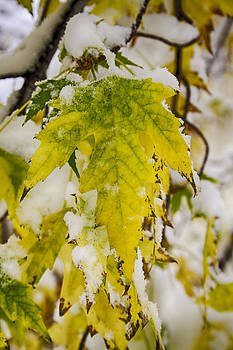 James BO  Insogna - Golden Maple In The Snow