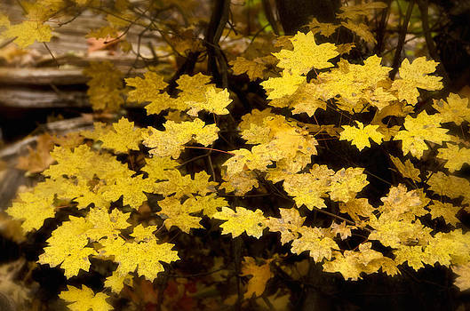 Saija  Lehtonen - Golden Maple Leaves