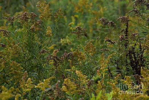 Linda Knorr Shafer - Golden Meadow