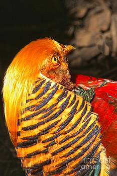 Adam Jewell - Golden Pheasant Intensity