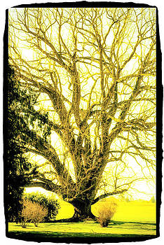 Golden Tree by Craig Perry-Ollila