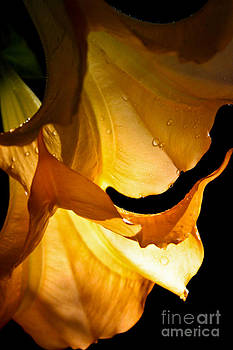 Golden Trumpets by Diana Black